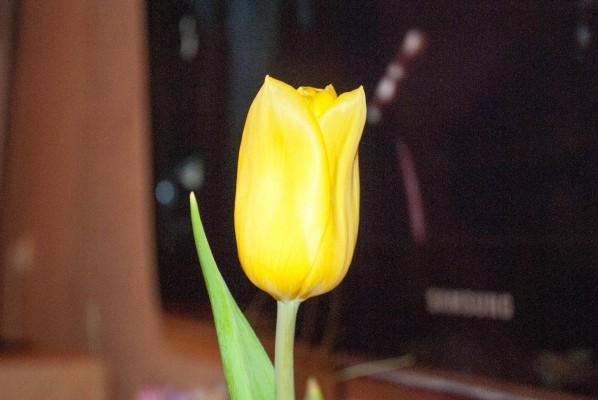 Тюльпан на темном фоне. Nikon D3000 Kit 18-55 VR